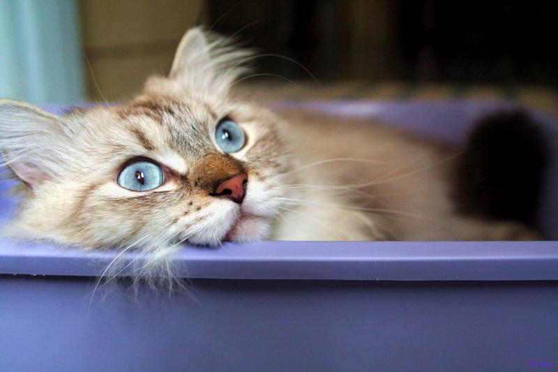 Come fare quando il gatto sporca fuori dalla lettiera